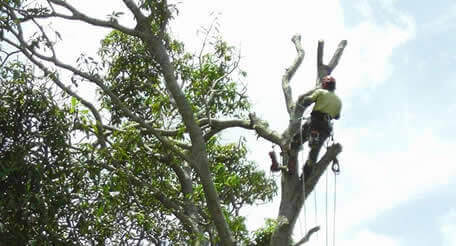 Tree Lopping Crows Nest