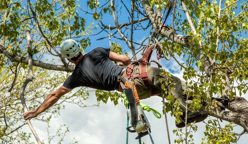 Crows Nest Tree Pruning